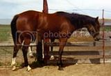 Spicey Sullivan AQHA appendix